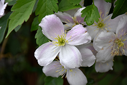 Pink Perfection Clematis (Clematis montana 'Pink Perfection') at Roger's Gardens