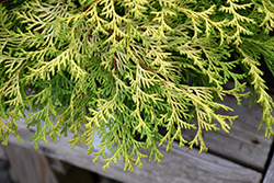 Kamarachiba Falsecypress (Chamaecyparis obtusa 'Kamarachiba') at Roger's Gardens