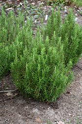 Barbeque Rosemary (Rosmarinus officinalis 'Barbeque') at Roger's Gardens