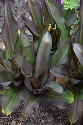Tugela Ruby Pineapple Lily (Eucomis 'Tugela Ruby') at Roger's Gardens