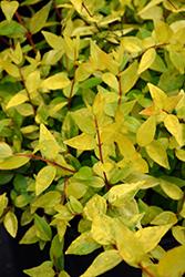 Francis Mason Abelia (Abelia x grandiflora 'Francis Mason') at Roger's Gardens