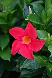 Sundenia Coral Mandevilla (Mandevilla 'Sundenia Coral') at Roger's Gardens