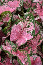 Pink Beauty Caladium (Caladium 'Pink Beauty') at Roger's Gardens