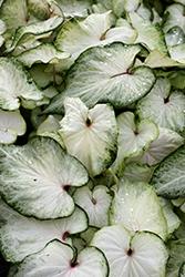 White Delight Caladium (Caladium 'White Delight') at Roger's Gardens