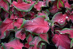 Florida Red Ruffles Caladium (Caladium 'Florida Red Ruffles') at Roger's Gardens