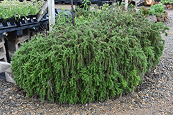 Trailing Rosemary (Rosmarinus officinalis 'Prostratus') at Roger's Gardens
