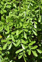 Texas Mountain Laurel (Sophora secundiflora) at Roger's Gardens