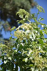 Mexican Elderberry (Sambucus mexicana) at Roger's Gardens