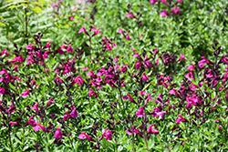 Mirage Burgundy Autumn Sage (Salvia greggii 'Balmirbur') at Roger's Gardens