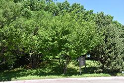 Texas Persimmon (Diospyros texana) at Roger's Gardens