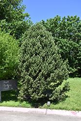 Pinyon Pine (Pinus edulis) at Roger's Gardens