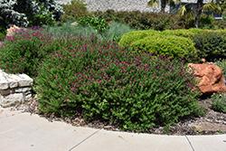 Mirage Hot Pink Autumn Sage (Salvia greggii 'Balmirhopi') at Roger's Gardens