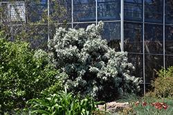 Silver Peso Texas Mountain Laurel (Sophora secundiflora 'Silver Peso') at Roger's Gardens