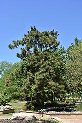 Japanese Black Pine (Pinus thunbergii) at Roger's Gardens