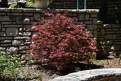 Shaina Japanese Maple (Acer palmatum 'Shaina') at Roger's Gardens