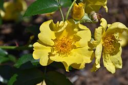 Lemon Fizz Kolorscape Rose (Rosa 'KORfizzlem') at Roger's Gardens