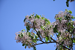 Chinaberry Tree (Melia azedarach) at Roger's Gardens