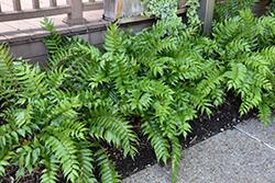 Japanese Holly Fern (Cyrtomium falcatum) at Roger's Gardens