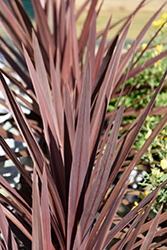 Red Star Red Grass Tree (Cordyline australis 'Red Star') at Roger's Gardens