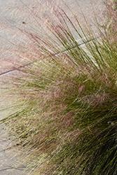 Hairawn Muhly (Muhlenbergia capillaris) at Roger's Gardens