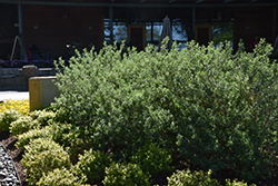 Texas Sage (Leucophyllum frutescens) at Roger's Gardens