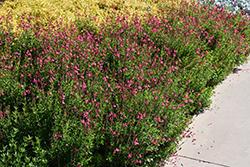 Pink Autumn Sage (Salvia greggii 'Pink') at Roger's Gardens