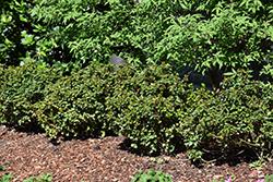 Little Rascal Meserve Holly (Ilex x meserveae 'Mondo') at Roger's Gardens