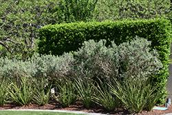 Silverado Texas Sage (Leucophyllum frutescens 'Silverado') at Roger's Gardens
