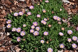 Jewel Of Desert Rosequartz Ice Plant (Delosperma 'Jewel Of Desert Rosequartz') at Roger's Gardens