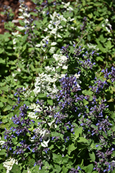 Angel's Wings Catmint (Nepeta x faassenii 'Angel's Wings') at Roger's Gardens