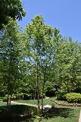 Dura Heat River Birch (Betula nigra 'Dura Heat') at Roger's Gardens