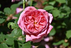 Boscobel Rose (Rosa 'Boscobel') at Roger's Gardens
