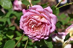 Brother Cadfael Rose (Rosa 'Ausglobe') at Roger's Gardens
