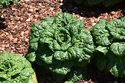 Asian Delight Pak Choi (Brassica rapa 'Asian Delight') at Roger's Gardens