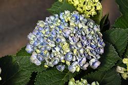 Magical Revolution Blue Hydrangea (Hydrangea macrophylla 'Revolution Blue') at Roger's Gardens