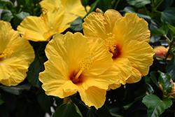 Tahiti Wind Hibiscus (Hibiscus rosa-sinensis 'Tahiti Wind') at Roger's Gardens