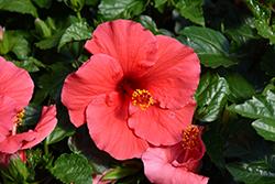 Antigua Wind Hibiscus (Hibiscus rosa-sinensis 'Antigua Wind') at Roger's Gardens