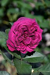 Celestial Night Rose (Rosa 'WEKebtigrad') at Roger's Gardens