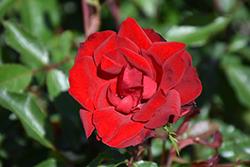 Grace N' Grit Red Rose (Rosa 'Meizygglie') at Roger's Gardens