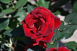 Dancing In The Dark Rose (Rosa 'DELchifrou') at Roger's Gardens