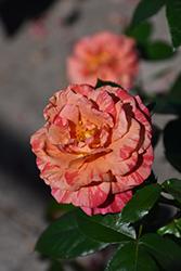 Frida Kahlo Rose (Rosa 'WEKcifrabaun') at Roger's Gardens