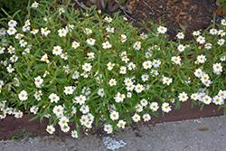 Blackfoot Daisy (Melampodium leucanthum) at Roger's Gardens
