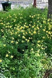 Texas Gold Columbine (Aquilegia chrysantha var. hinckleyana) at Roger's Gardens