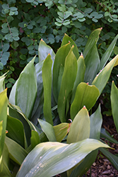 Cast Iron Plant (Aspidistra elatior) at Roger's Gardens