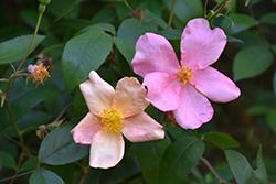 China Rose (Rosa chinensis var. mutabilis) at Roger's Gardens