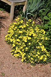 Yellow Sundrops (Calylophus serrulatus) at Roger's Gardens
