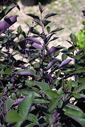 Fascination Arabian Lilac (Vitex trifolia 'Fascination') at Roger's Gardens