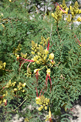 Bird of Paradise Shrub (Caesalpinia gilliesii) at Roger's Gardens