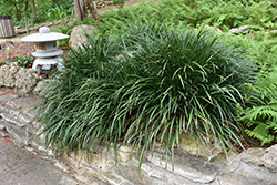 Evergreen Giant Lily Turf (Liriope muscari 'Evergreen Giant') at Roger's Gardens