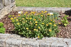 Pot Marigold (Calendula officinalis) at Roger's Gardens